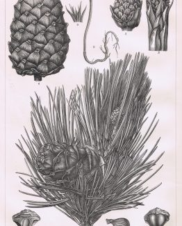 Swiss Pine Tree, showing cones,fruit,roots