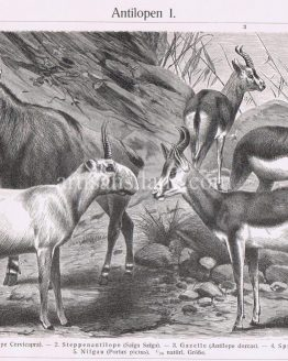 Antique Print of Various species of Antelopes