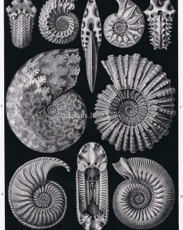 Antique ammonoids print