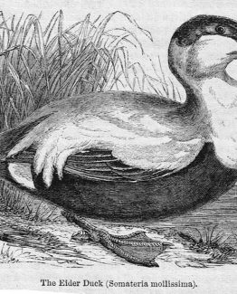 Eider Duck Antique Illustration wood engraved vector art