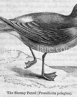 Stormy Petrel Antique Illustration wood engraved vector art