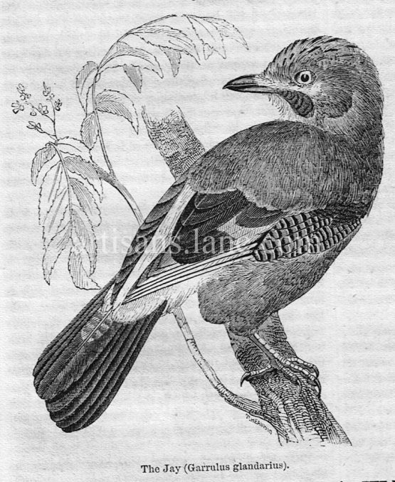 Jaybird Antique Illustration wood engraved vector art