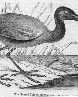 Sacred Ibis Antique Illustration wood engraved vector art