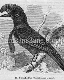 Umbrella Bird Antique Illustration wood engraved vector art