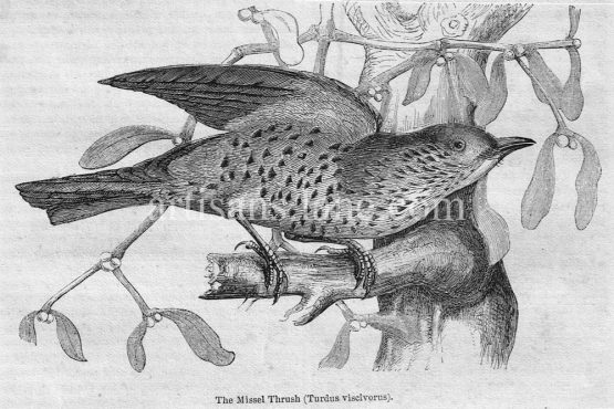 Missel Thrush Antique Illustration wood engraved vector art