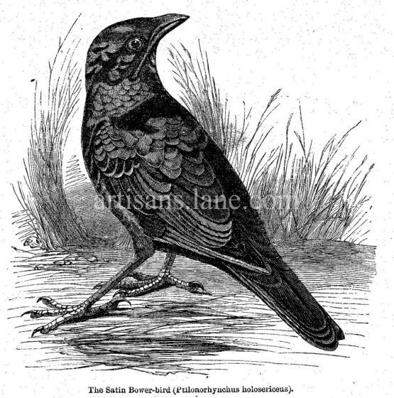 Satin Bowerbird Antique Illustration wood engraved vector art