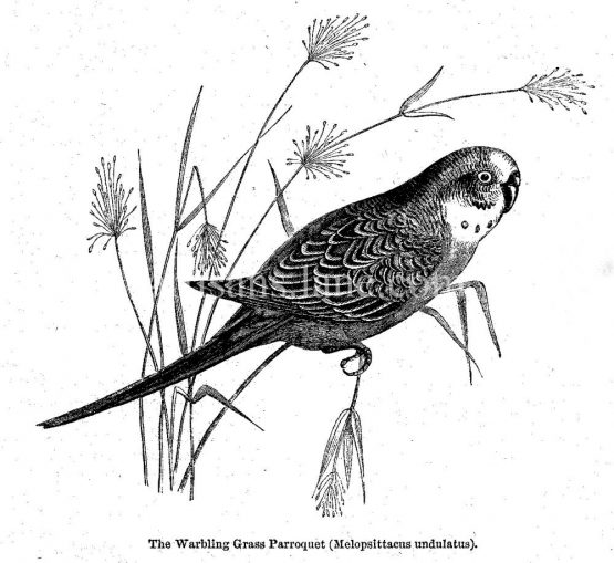 Warbling Grass Parroquet ,antique illustratio,n vector art