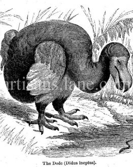 Dodo Bird Antique illustration extinct species