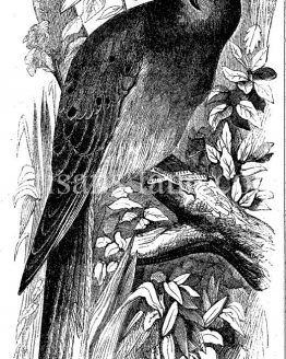 Passenger Pigeon antique illustration extinct species