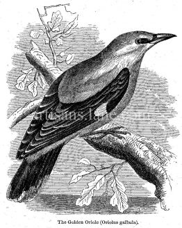 Golden Oriole antique illustration Vector art wood engraving