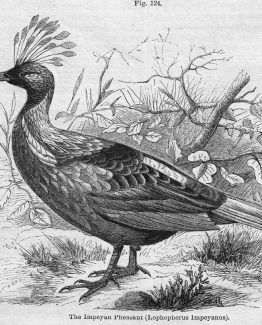 Impeyan Pheasant antique illustration graphic engraving Stock image