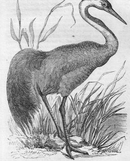 Common Crane antique illustration graphic engraving