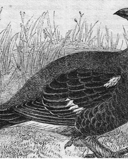 Black grouse antique illustration graphic engraving