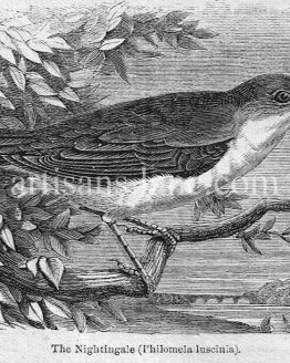 Nightingale antique illustration graphic engraving