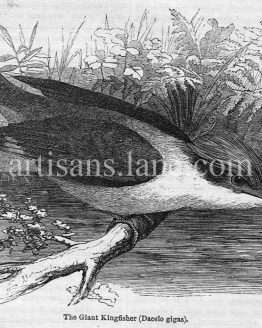 Giant Kingfisher antique illustration graphic engraving