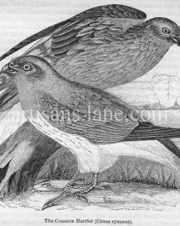 Common Harrier antique illustration graphic engraving