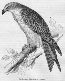 Common Kite Vintage Engraved Illustration Antique Print