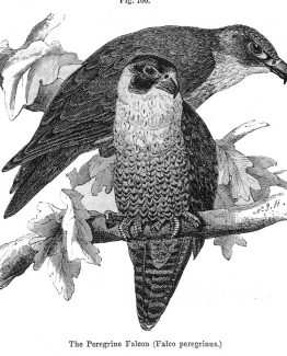 Peregrine Falcon antique illustration graphic engraving