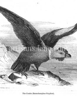 The condor antique illustration wood engraving