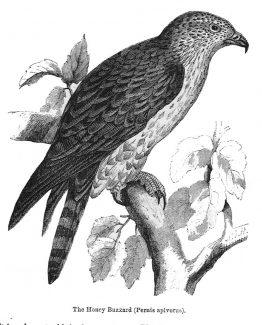 The Honey Buzzard antique illustration graphic engraving