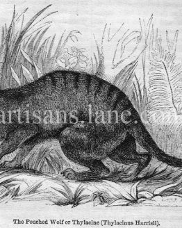 Pouched Wolf Thylacine Antique Illustration