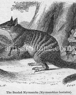 The Banded Myrmecobe Antique Illustration Wood Engraving