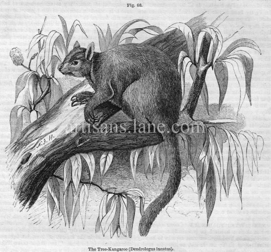 The Tree Kangaroo Antique Illustrated Engraving