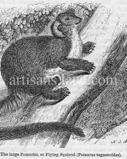 The Large Petaurist Flying Squirrel Antique illustration