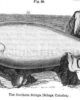 The Northern Beluga Antique wood engraved Illustration