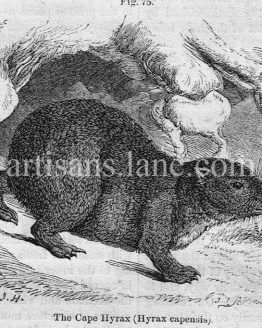 The Cape Hyrax Antique Illustration Wood Engraving