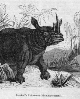 Burchells Rhinoceros Antique illustration