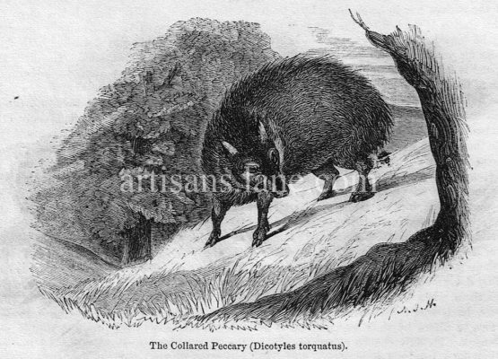 The Collared Peccary Antique Illustration wood engraving