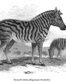 Burchells Zebra Antique illustration wood engraving