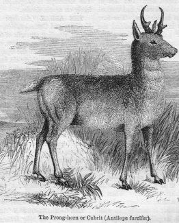 The Pronghorn Cabrit Antique illustration
