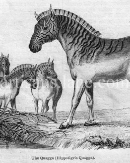 The Quagga, Antique wood engraved illustration 1860