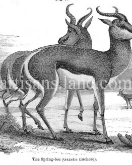 The Spring Boc Gazelle Euchore Antique Wood illustration