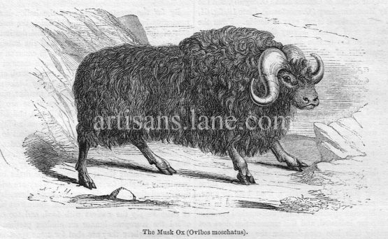 The Musk Ox Antique Wood Engraved Illustration