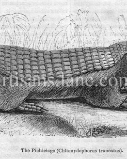 The Pichiciago Antique Wood Engraved Illustration