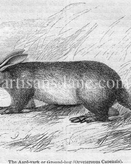 The Aardvark Groundhog Antique wood illustration