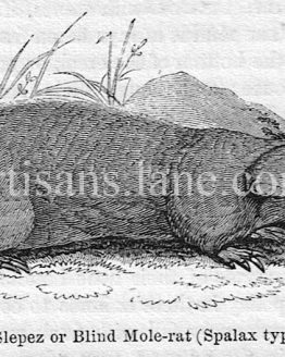 The Slepez Blind Mole Rat Antique Wood Engraving