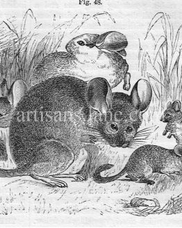 The Chinchilla Antique Wood Engraved Illustration