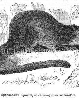 Sparmmanns squirrel Jelerang Antique Wood Illustration