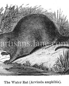 The Water Rat Antique wood engraved illustration