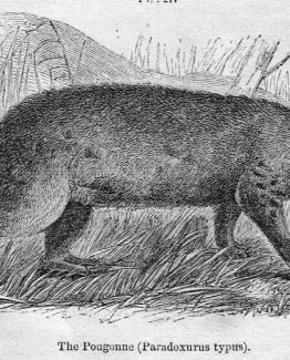 Pougonne the musang 1860 antique illustration