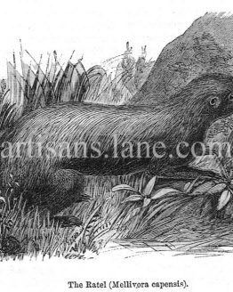 The Ratel Mellivora Capensis wood engraved illustration