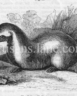 The Grison Antique illustration 1860 wood engraving