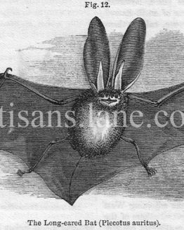 Long Eared Bat wood engraved illustration