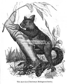 The Aye Aye Antique illustration