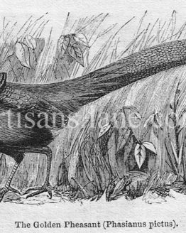 Golden Pheasant antique illustration graphic engraving Stock